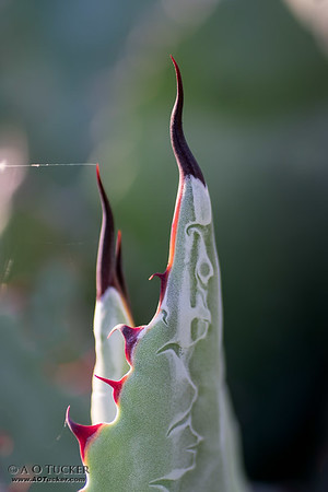 Red Teeth Of The Agave
