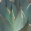 Teeth Of The Agave