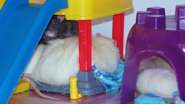 Teddy sleeps with a buddy. Debra says the top(dark)  rat is the alpha rat and that he and Teddy aren't yet good friends, but they are clearly on their way.