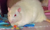 Teddy Rat muches his carrot peacefully; he now lives in a new group he is comfortable with.