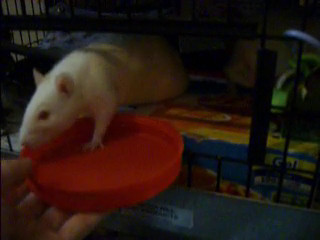 Short demonstration of serving treats in a dish at the cage door. Use a dish to offer a treat to a frightened rat who might bite.