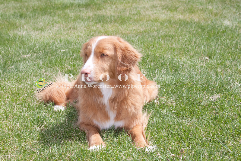Purebred Duck Tolling Retriever
