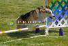 Purebred  Pembroke Welsh Corgi