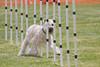 Purebred Soft Coated Wheaten Terrier