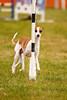 Purebred  Italian Greyhound