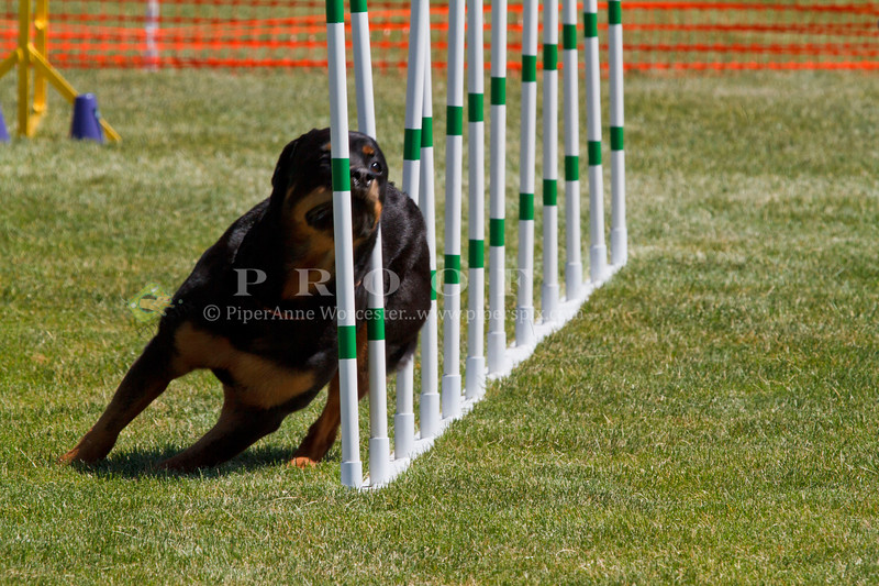 Purebred  Rottweilers
