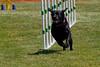 Purebred  Black Labrador  Retriever