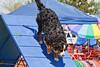Purebred  Bernese Mountain Dog
