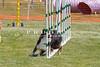Purebred  Border Collie
