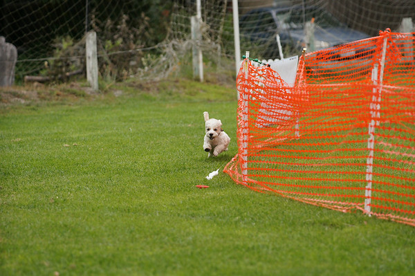 Lure coursing KBTCNC life with dogs 2014