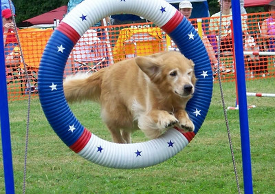 The Sheltie trial 2008