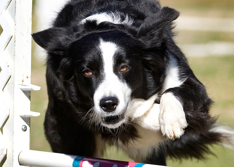 "Announce your wins in style with the <a href=""http://www.greetingcarduniverse.com/shopping/viewdetails.asp?gcu=43090048451&pid=1022587"" target=""_blank"">Border Collie Agility greeting card!</a>"