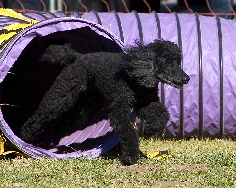 Miniature Poodle #16111:  Tiff. Golden State Rottweiler Club AKC Agility Trial January 12, 2013 in Van Nuys, California. Jumpers With Weaves 16 inch.  Handled by Margaret Ann Redding.