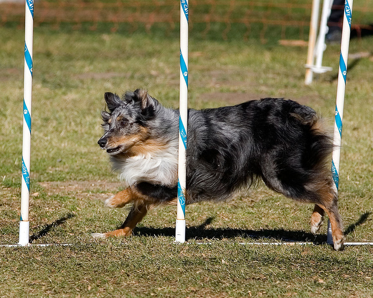 Australian Shepherd #16105:  Dash. Golden State Rottweiler Club AKC Agility Trial January 12, 2013 in Van Nuys, California. Jumpers With Weaves 16 inch.  Handled by Ann Grimes.