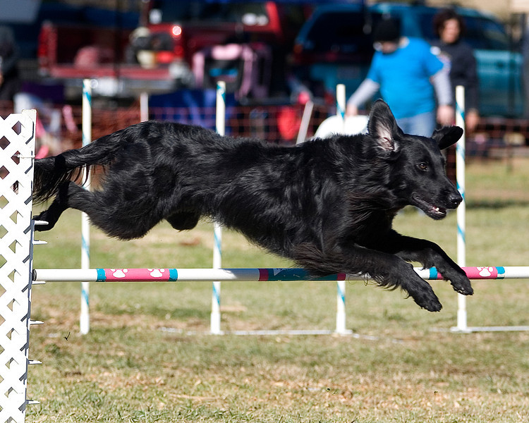 Flat Coated Retriever #20134:  Sprint. Golden State Rottweiler Club AKC Agility Trial January 12, 2013 in Van Nuys, California. Jumpers With Weaves 20 inch.  Handled by Teresa Rodney.