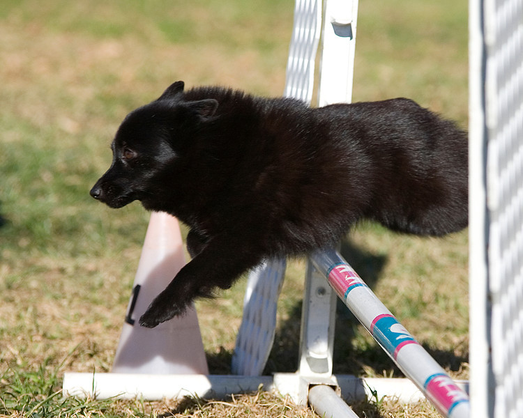 Schipperke #8102:  Zoe. Golden State Rottweiler Club AKC Agility Trial January 12, 2013 in Van Nuys, California. Jumpers With Weaves 8 inch.  Handled by Lori Brison.