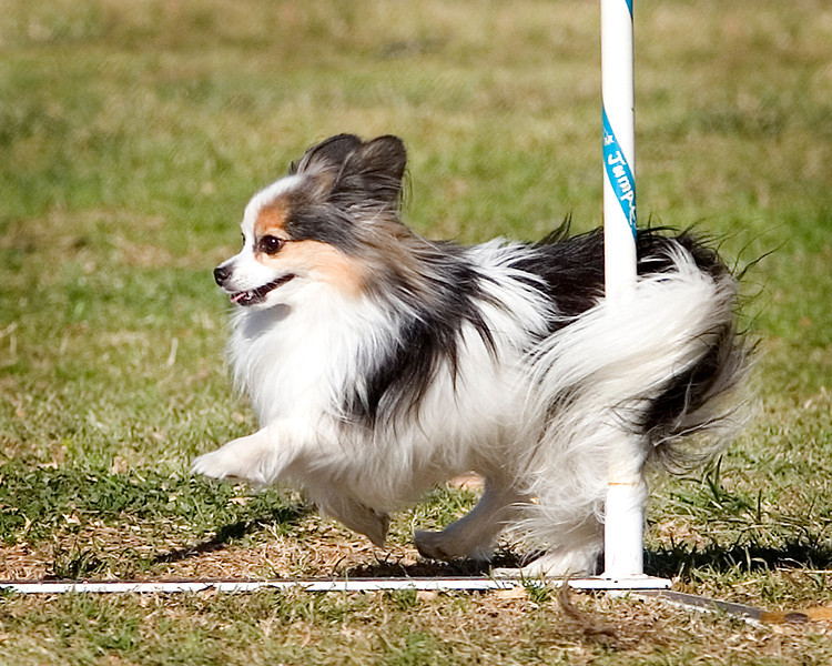 Papillon #8103: Razr. Golden State Rottweiler Club AKC Agility Trial January 12, 2013 in Van Nuys, California. Jumpers With Weaves 8 inch.  Handled by Estelle Robinson.