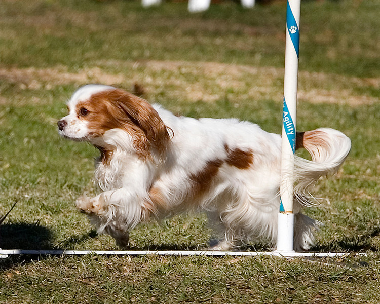 Cavalier King Charles Spaniel #8109: Cassie. Golden State Rottweiler Club AKC Agility Trial January 12, 2013 in Van Nuys, California. Jumpers With Weaves 8 inch.  Handled by Nancy Latthitham.