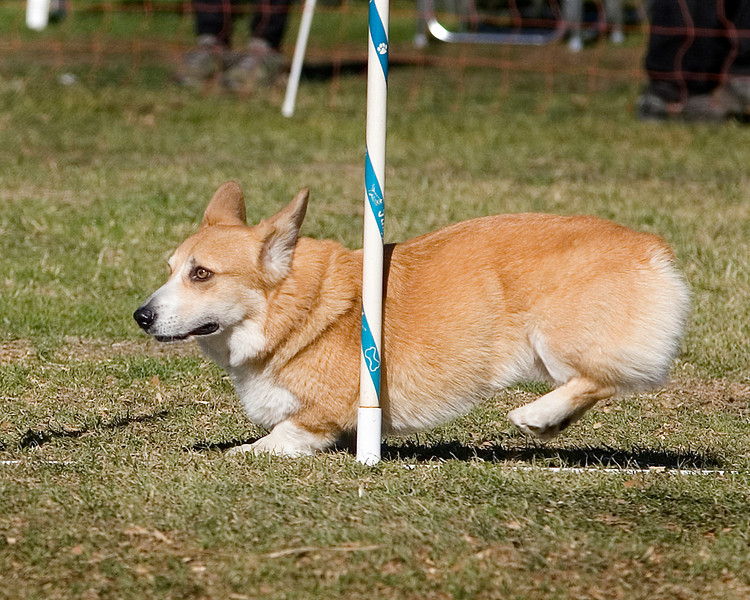 Unidentified Pembroke Welsh Corgi. Golden State Rottweiler Club AKC Agility Trial January 12, 2013 in Van Nuys, California. Jumpers With Weaves 8 inch.