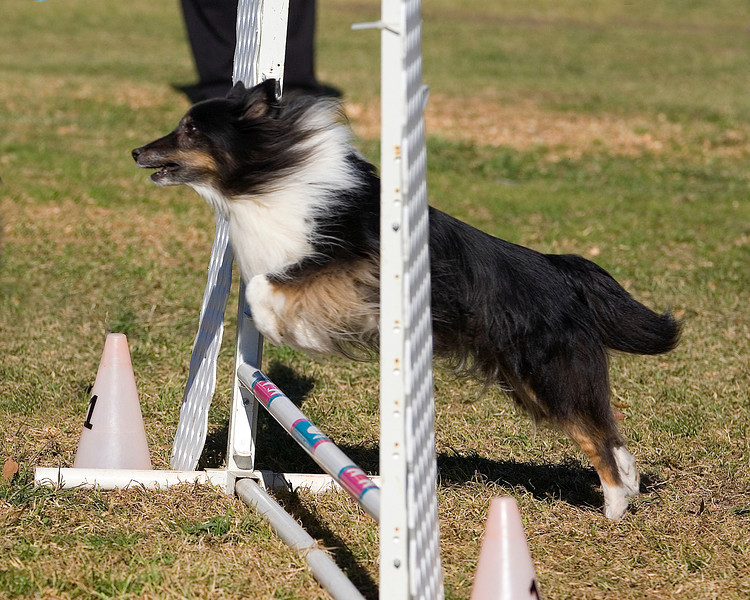 Shetland Sheepdog #8204:  Rockie. Golden State Rottweiler Club AKC Agility Trial January 12, 2013 in Van Nuys, California. Jumpers With Weaves 8 inch.  Handled by Jeff Kogen.