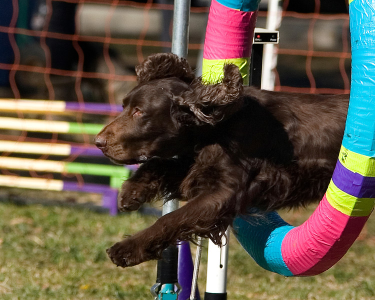 Field Spaniel #16108:  CC. Golden State Rottweiler Club AKC Agility Trial January 13, 2013 in Van Nuys, California. Standard Master/Excellent 16 inch.  Handled by Tracy England.