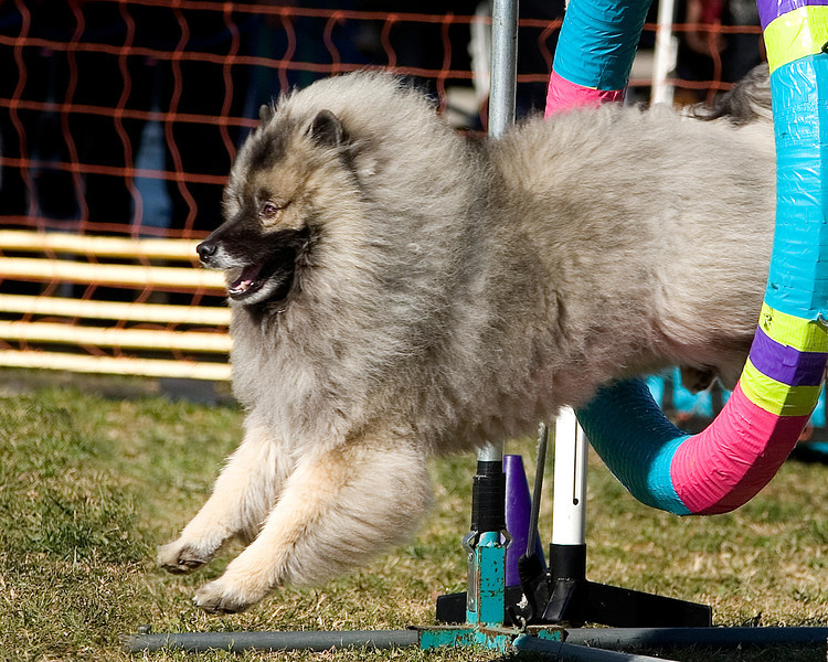Keeshond #16112:  Ray. Golden State Rottweiler Club AKC Agility Trial January 13, 2013 in Van Nuys, California. Standard Master/Excellent 16 inch.  Handled by Jocelyn Tipple.