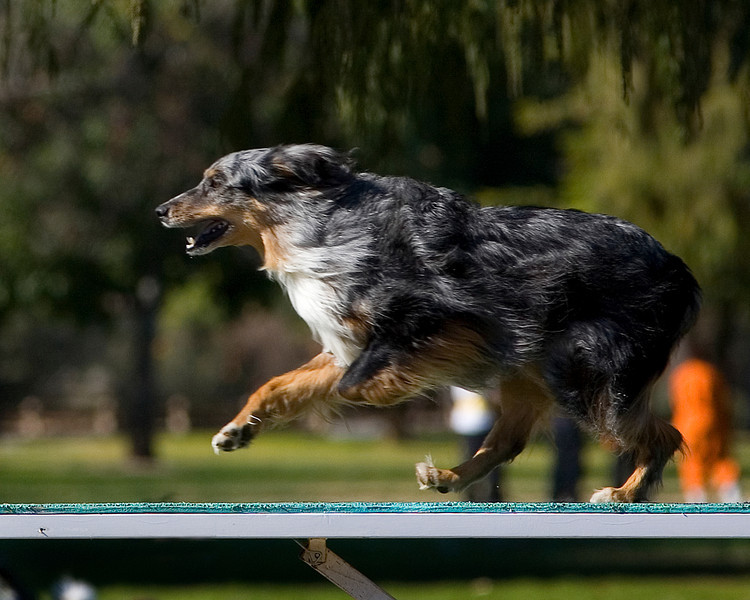 Unidentified Australian Shepherd. Golden State Rottweiler Club AKC Agility Trial January 13, 2013 in Van Nuys, California. Standard Master/Excellent 16 inch.