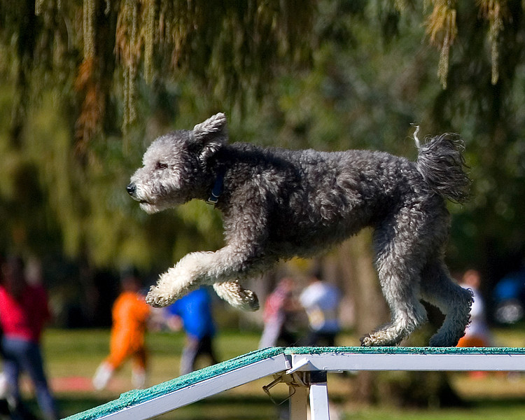 Pumi #16107:  River. Golden State Rottweiler Club AKC Agility Trial January 13, 2013 in Van Nuys, California. Standard Master/Excellent 16 inch.  Handled by Barbara Miller.