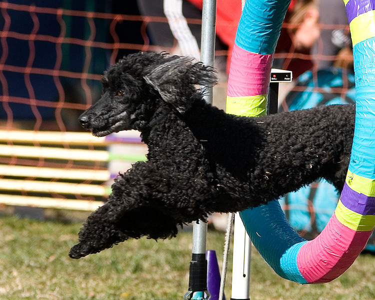 Miniature Poodle #16111:  Tiff. Golden State Rottweiler Club AKC Agility Trial January 13, 2013 in Van Nuys, California. Standard Master/Excellent 16 inch.  Handled by Margaret Ann Redding.