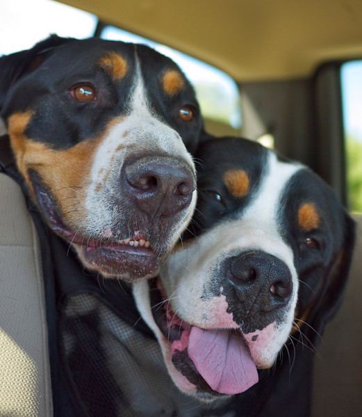 Goofy pups  -- Road Trip!