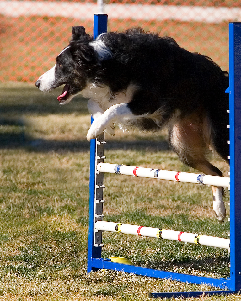 Border Collie #2021T:  Gadget. Performance Dog Training CPE Agility Trial January 5, 2013 in San Diego, California. Jumpers Round 1 - Levels 1/2 16 inch.  Owned/Handled by Andi Dencklau.