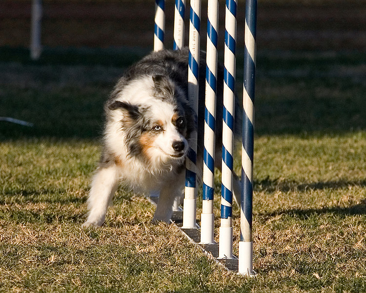 Miniature Australian Shepherd #1623V: Lego.  Performance Dog Training CPE Agility Trial January 5, 2013 in San Diego, California. Standard Round 1 - Levels 4/5/C 12 inch.  Owned/Handled by Laura Ann Lotz.