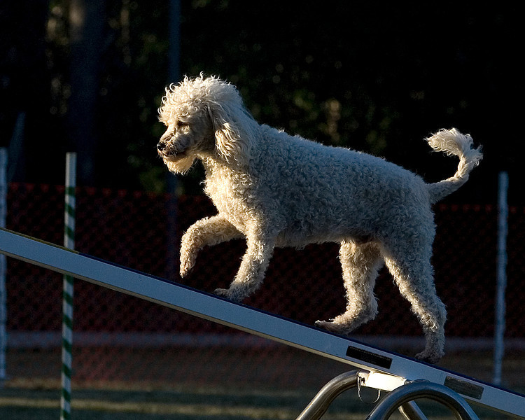 Miniature Poodle #1206: Augie.  Performance Dog Training CPE Agility Trial January 5, 2013 in San Diego, California. Standard Round 1 - Levels 4/5/C 12 inch.  Owned/Handled by Maria Marshall.