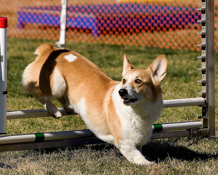 Pembroke Welsh Corgi #1217T:  Redman. Performance Dog Training CPE Agility Trial January 5, 2013 in San Diego, California. Wildcard Round 1 - Levels 1/2 8 inch.  Owned/Handled by Redelle Hrastich.