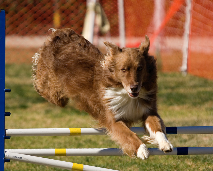 Australian Shepherd #1602:  Meg.  Performance Dog Training CPE Agility Trial January 5, 2013 in San Diego, California. Wildcard Round 1 - Levels <br /> 3/4/5/C 16 inch.  Owned/Handled by Maria Marshall.