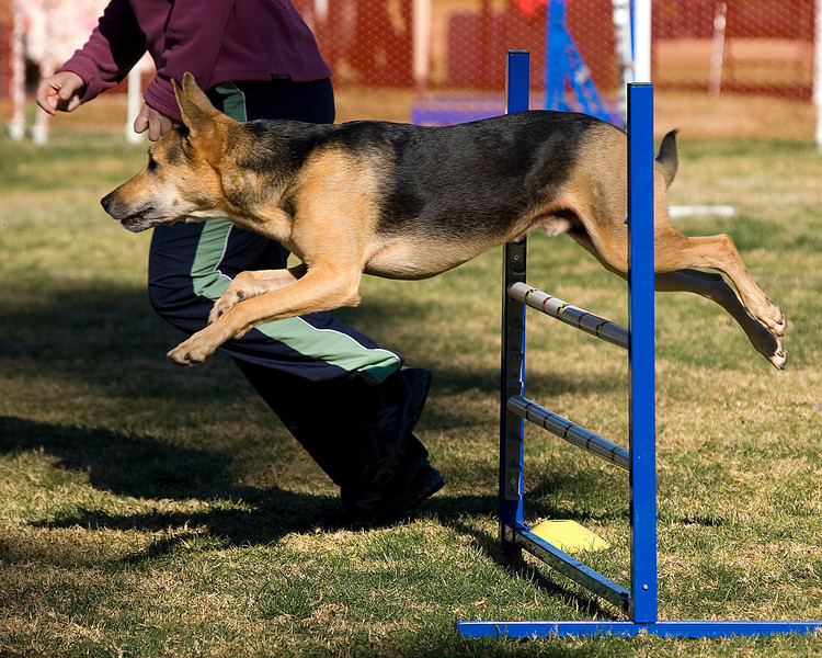 German Shepherd Dog #2012:  Gunner.  Performance Dog Training CPE Agility Trial January 5, 2013 in San Diego, California.  Wildcard  Round 1 - Levels 3/4/5/C 20 inch.  Owned/Handled by Amy Lavoie.