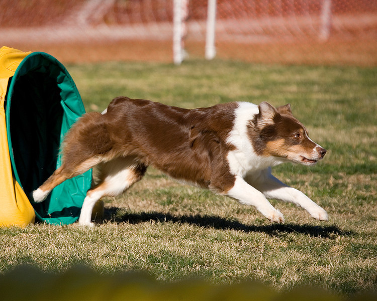 Australian Shepherd #2008:  Bug.  Performance Dog Training CPE Agility Trial January 5, 2013 in San Diego, California. Wildcard Round 1 - Levels 3/4/5/C 20 inch.  Owned/Handled by Dan Roy.