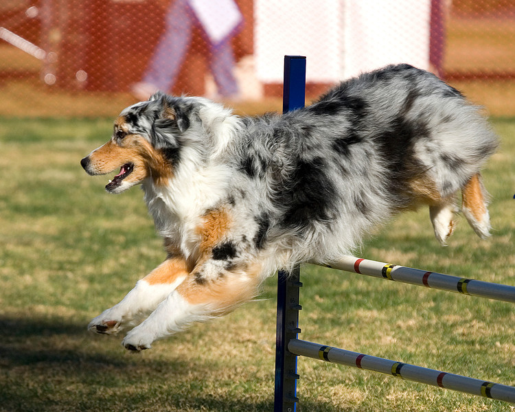 Australian Shepherd #2006:  Kora.  Performance Dog Training CPE Agility Trial January 5, 2013 in San Diego, California. Wildcard Round 1 - Levels 3/4/5/C 20 inch.  Owned/Handled by Kitty Maurais.