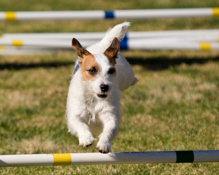 Russell Terrier #805:  Haleys Comet. Performance Dog Training CPE Agility Trial January 5, 2013 in San Diego, California. Wildcard Round 1 - Levels <br /> 3/4/5/C 8 inch.  Owned/Handled by Barbara Chesnut.