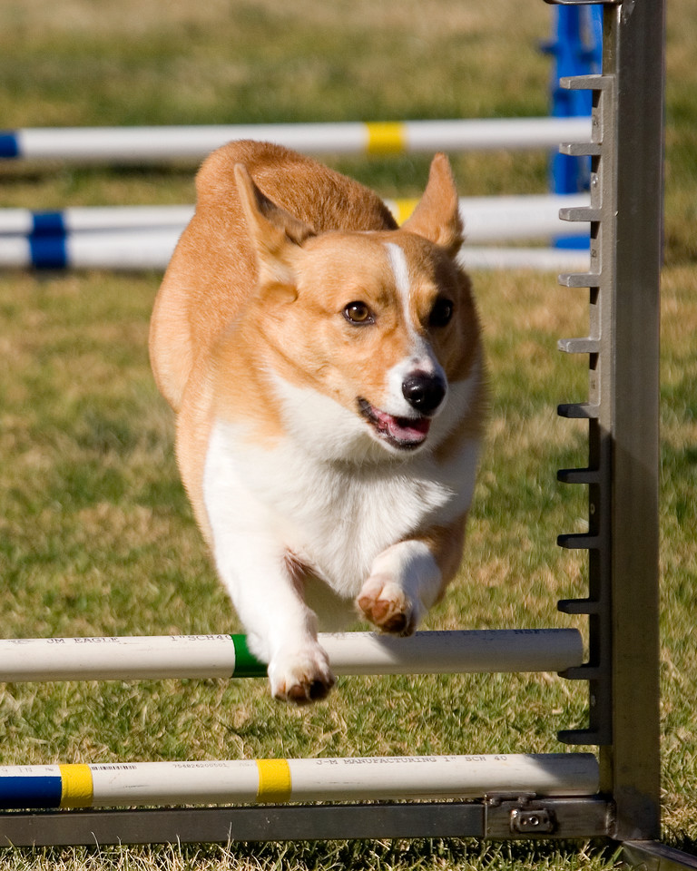 Pembroke Welsh Corgi #806:  Bandit.  Performance Dog Training CPE Agility Trial January 5, 2013 in San Diego, California.  Wildcard  Round 1 - Levels 3/4/5/C 8 inch. Owned/Handled by Bobby & Terry Blain.