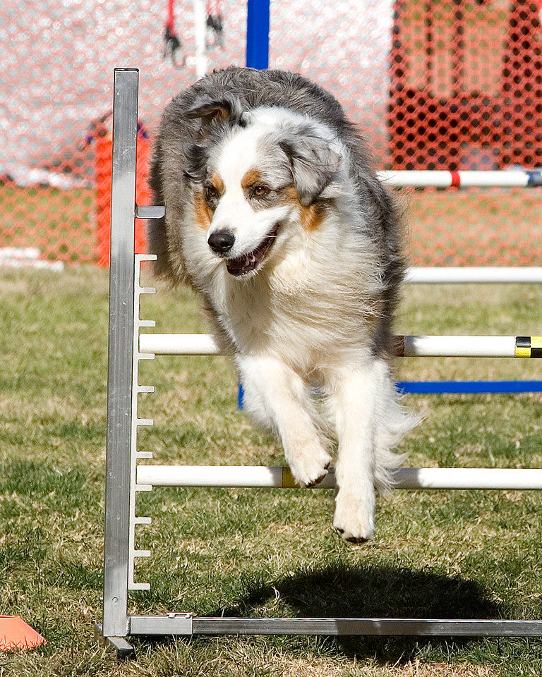 Unidentified Australian Shepherd. Performance Dog Training CPE Agility Trial January 6, 2013 in San Diego, California.  Colors Round 1 - Levels 3/4/5/C 20 inch.