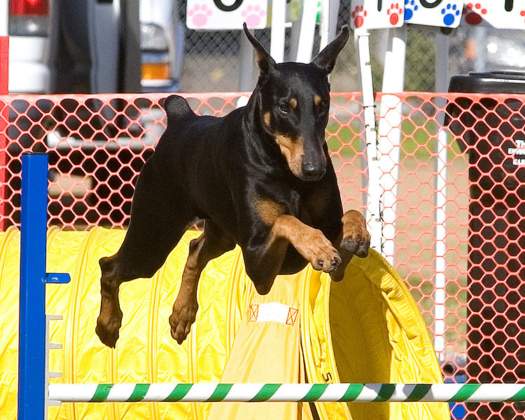 Doberman Pinscher #2407T:  Willy. Performance Dog Training CPE Agility Trial January 6, 2013 in San Diego, California. Colors Round 1 - Levels 3/4/5/C 20 inch.  Owned/Handled by Lex Peirano.