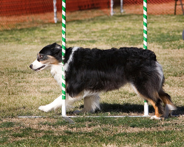 Australian Shepherd #2005:  Addie.  Performance Dog Training CPE Agility Trial January 6, 2013 in San Diego, California. Colors Round 1 - Levels 3/4/5/C 20 inch. Owned/Handled by Alison Fuller.