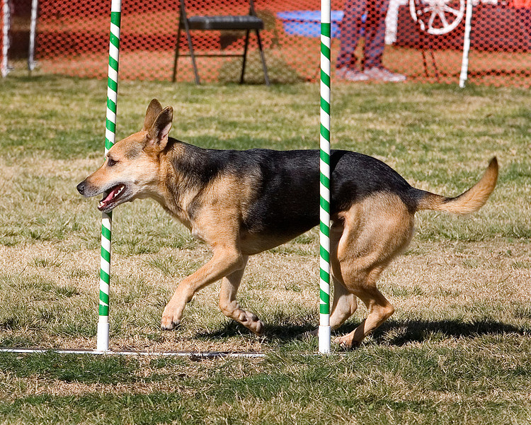 German Shepherd Dog #2012:  Gunner.  Performance Dog Training CPE Agility Trial January 6, 2013 in San Diego, California.  Colors  Round 1 - Levels 3/4/5/C 20 inch.  Owned/Handled by Amy Lavoie.