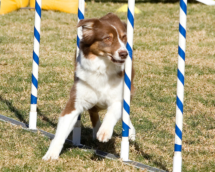 Australian Shepherd #1605:  Bug.  Performance Dog Training CPE Agility Trial January 6, 2013 in San Diego, California. Colors Round 1 - Levels 4/5/C 20 inch.  Owned/Handled by Dan Roy.