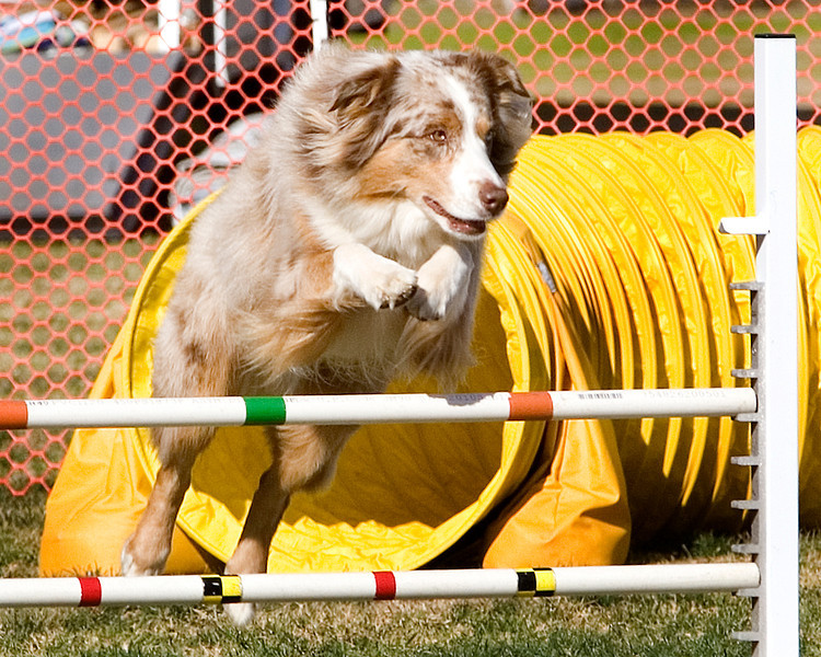 Australian Shepherd #2009:  Layla.  Performance Dog Training CPE Agility Trial January 6, 2013 in San Diego, California. Colors Round 1 - Levels 3/4/5/C 20 inch.  Owned/Handled by Phillip Crabtree.