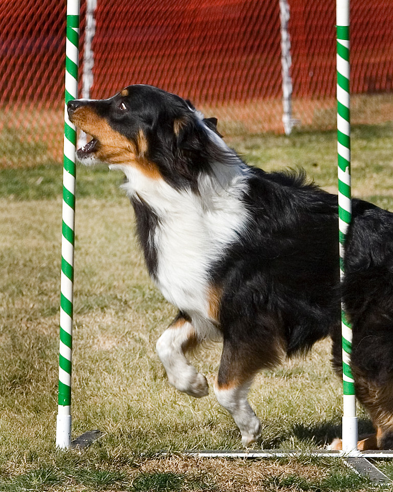 Australian Shepherd #2007:  Scooter.  Performance Dog Training CPE Agility Trial January 6, 2013 in San Diego, California. Colors Round 1 - Levels 3/4/5/C 20 inch.  Owned/Handled by Kelly Crittle.