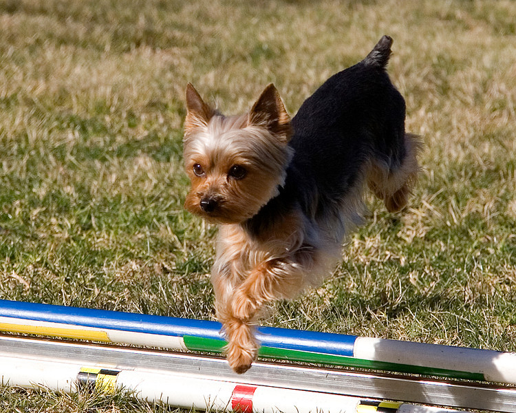 Yorkshire Terrier #401: Nellie.  Performance Dog Training CPE Agility Trial January 6, 2013 in San Diego, California. Colors Round 1 - Levels 3/4/5/C 4 inch.  <br /> Owned/Handled by Wendy Watts.