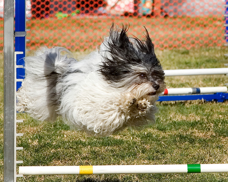 Havanese #811:  Max.  Performance Dog Training CPE Agility Trial January 6, 2013 in San Diego, California.  Colors  Round 1 - Levels 3/4/5/C 8 inch. Owned/Handled by Sandy Yarvis.