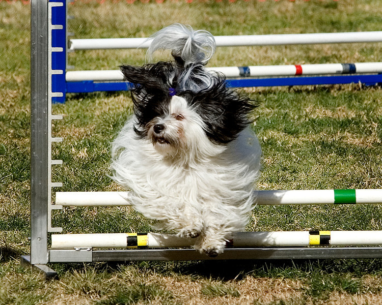 Havanese #812:  Josie.  Performance Dog Training CPE Agility Trial January 6, 2013 in San Diego, California.  Colors  Round 1 - Levels 3/4/5/C 8 inch. Owned/Handled by Sandy Yarvis.